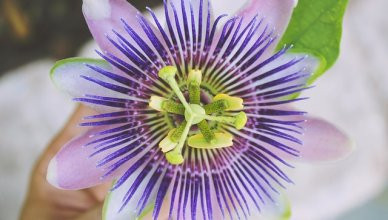 Die Passionsblume lindert Entzugserscheinungen und fördert den Schlaf