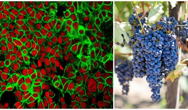 Traubenkernextrakt tötet Krebszellen im Labor