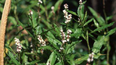 Die Vorteile von Smartweed (Polygonum hydropiperoides)