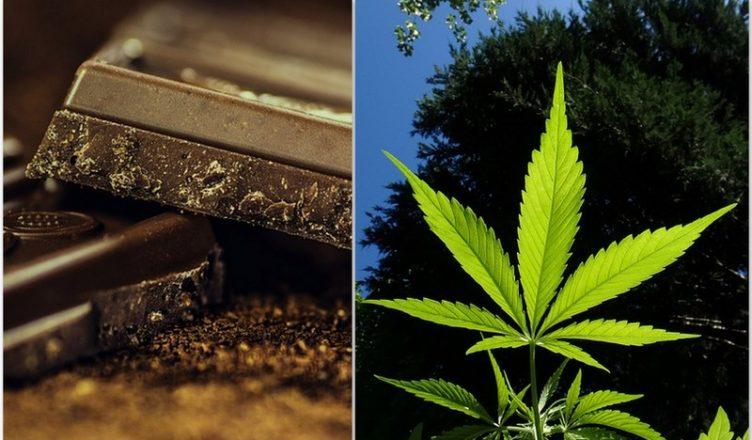 Schokolade und Cannabis: Die Kombination zur Herstellung starker Medikamente