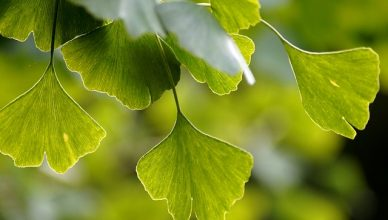 Ginkgo biloba fördert die körperliche und geistige Gesundheit